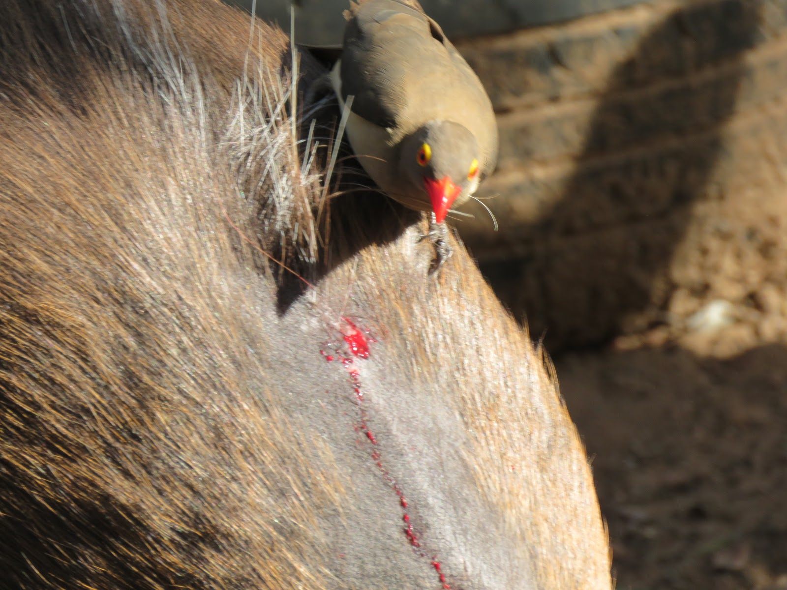 Oxpeckers can dig into the flesh of animals to extract parasites
