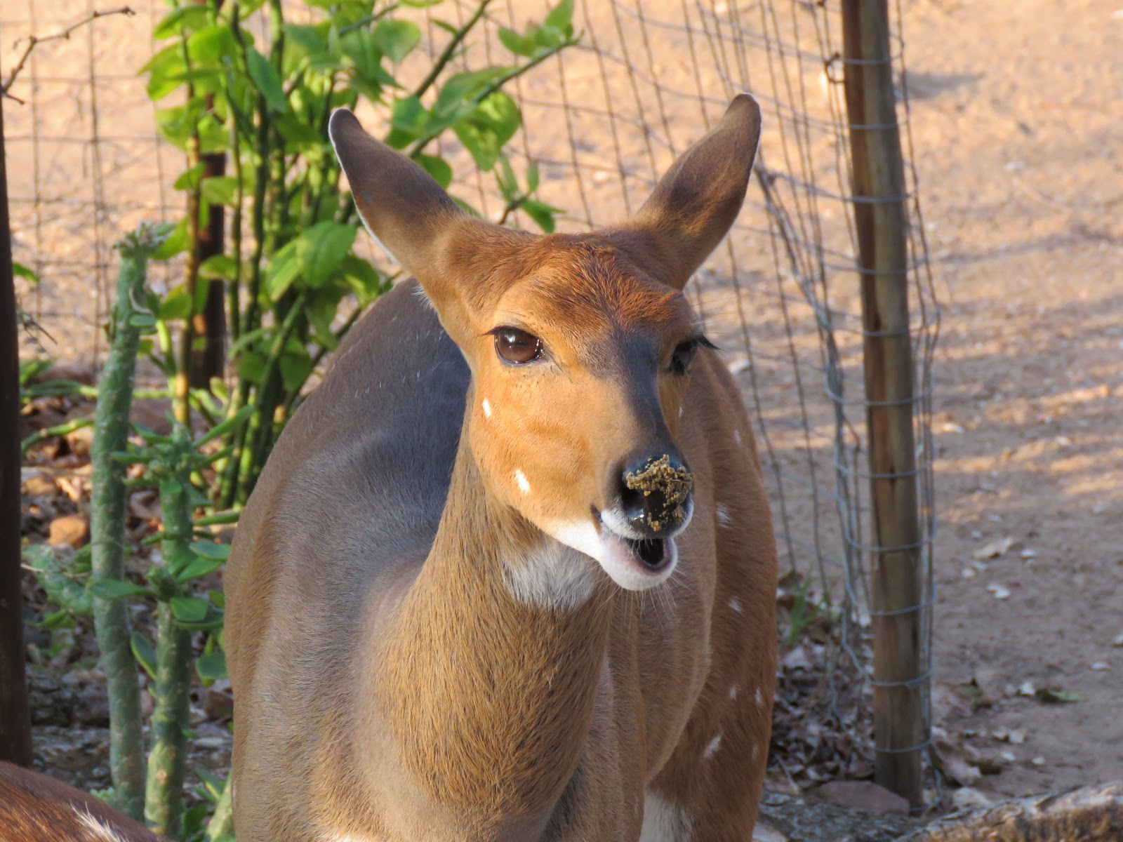 the pellet crumbs on the nose of this adorable bushbuck